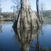stock photo of bayou  - reflection of cypress tree roots in bayou - JPG