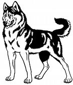 picture of husky sled dog breeds  - dog siberian husky breed - JPG