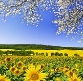 stock photo of husbandry  - spring landscape with sunflower field  - JPG