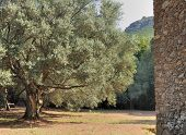 foto of centenarian  - a big and old olive tree in summer - JPG
