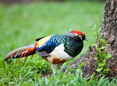stock photo of pheasant  - Amherst pheasant in garden - JPG