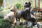 Group Of Chinese Crested Dog In The Garden