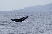 stock photo of cetacea  - The tail of a humpback whale Maui North Pacific Ocean