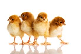 image of furry animal  - Group of small chicks - JPG