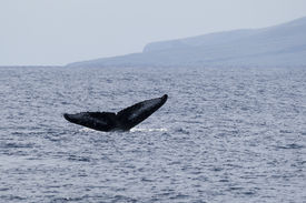 pic of cetacea  - The tail of a humpback whale Maui North Pacific Ocean
