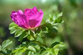 pic of dog-rose  - Pink wild dog - JPG