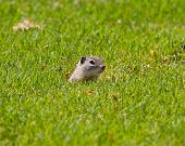 Постер, плакат: Alert Ground Squirrel