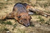 pic of stray dog  - Street dog laying on a whitered field and is bored - JPG