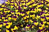 picture of viola  - viola tricolor pansy flower bed bloom in the garden.