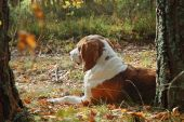 stock photo of foxhound  - Dog hound resting on fallen leaves in the autumn forest - JPG