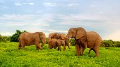 stock photo of tusks  - Family of african elephants walking in bush savannah - JPG