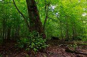 pic of linden-tree  - Broken linden tree still alive against juvenile stand in summer  - JPG