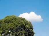 image of ash-tree  - cloud behind green ash tree in late summer - JPG