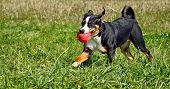 image of cattle dog  - Appenzell cattle dog  running on the green grass - JPG