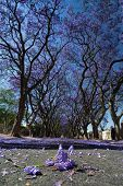 stock photo of tree lined street  - Suburban road with line of jacaranda trees and small branch with flowers on - JPG