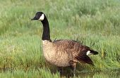 stock photo of honkers  - This Canada Goose is leaving a pot hole  - JPG