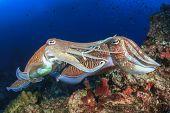 foto of cuttlefish  - Pair Cuttlefish mating - JPG