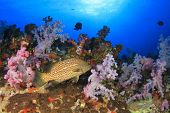 stock photo of grouper  - Grouper fish on coral reef - JPG