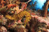 stock photo of seahorses  - Seahorse underwater on coral reef - JPG