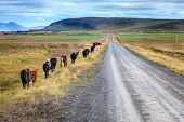 image of iceland farm  - A herd of Icelandic ponies moving along gravel road in Iceland countryside - JPG