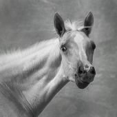 picture of foal  - Portrait of foal black and white photo - JPG
