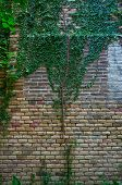 image of climber plant  - Stone brick wall and green ivy plants - JPG
