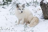 stock photo of arctic fox  - A lone Arctic Fox in a winter scene - JPG