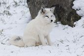 pic of arctic fox  - A lone Arctic Fox in a winter scene - JPG