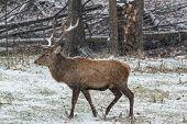 picture of bambi  - A lone wapiti in a winter scene - JPG