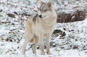 stock photo of horrific  - A lone Arctic Wolf in the winter - JPG