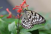 foto of butterfly  - Large Tree Nymphs butterfly and flowers - JPG