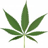picture of marijuana leaf  - cannabis leaf vector - JPG