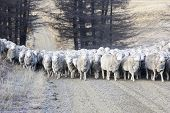 stock photo of mustering  - mustering sheep in the South Island of New Zealand