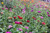image of tilt  - tilted view of a field of purple, red, orange and yellow dahlias ** Note: Visible grain at 100%, best at smaller sizes - JPG