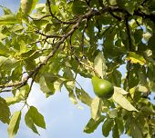pic of avocado  - Avocado tree with ripe avocado with blue sky background - JPG
