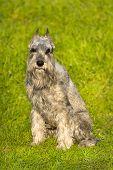 pic of schnauzer  - Beautiful silver schnauzer dog sitting in green grass - JPG