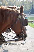 stock photo of carriage horse  - horses with blinders - JPG