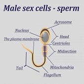 foto of sperm cell  - Diagram of the male sex cells  - JPG