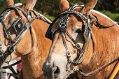 pic of harness  - Pair of draft horses with harness on - JPG