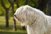 stock photo of sheep-dog  - South Russian Sheep Dog portrait in park - JPG