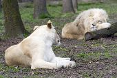 picture of boring  - White South African lion and lioness  - JPG