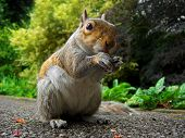 foto of curio  - Curios squirrel in the park eating - JPG