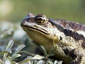 picture of sakhalin  - The Portrait Toad cane on island Sakhalin  - JPG