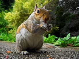 pic of curio  - Curios squirrel in the park eating - JPG