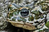 picture of amphibious  - Green Frog on the garden in summer  - JPG