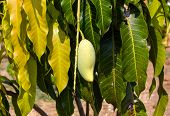picture of mango  - Close up of mangoes on a mango treeThe view from the front - JPG