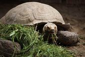 picture of spurs  - African spurred tortoise  - JPG
