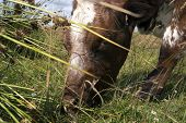 picture of cow head  - Closeup head of eating cow on a Danish meadow - JPG