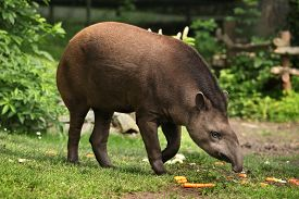 stock photo of terrestrial animal  - South American tapir  - JPG