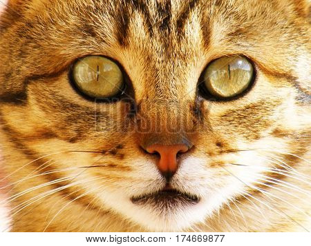 poster of Cat pictures, cat eyes, pictures of the most beautiful cat eyes, cute cat, innocent cat pictures, close-up cat pictures, brown cat, van cat, eyes different cat, white cat